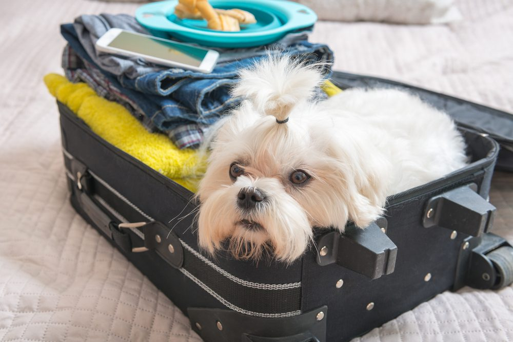 Small dog maltese sitting in the suitcase or bag and waiting for a trip