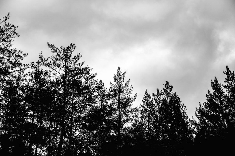 Dark sky with clouds and the tops of pine trees in coniferous forest