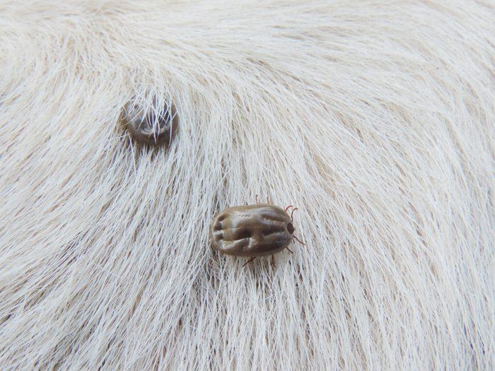 Ticks on white hair of dog,Ticks sucking dog blood.
