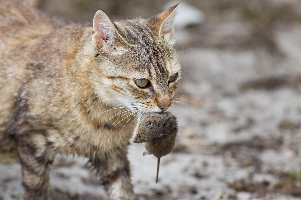 Tabby cat with dangerous look holding prey in teeth