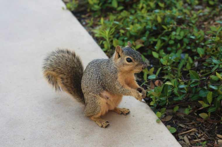 close up of texas brown squirrel