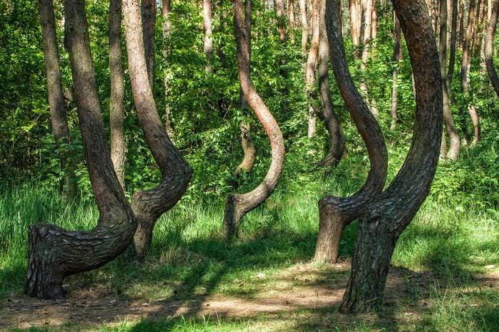 "The Crooked Forest. Oddly-shaped pine trees. ""Nowe Czarnowo"", West Pomerania, Poland"