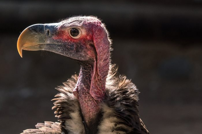 A Lappet-faced Vulture in close of face.