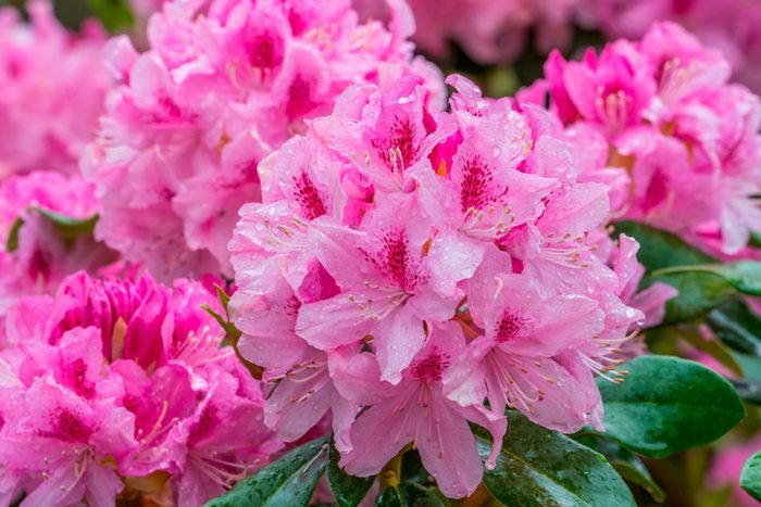Blooming pink rhododendron on the garden