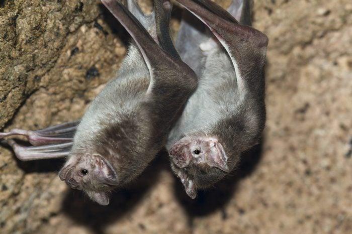 Common vampire bat, Desmodus rotundus