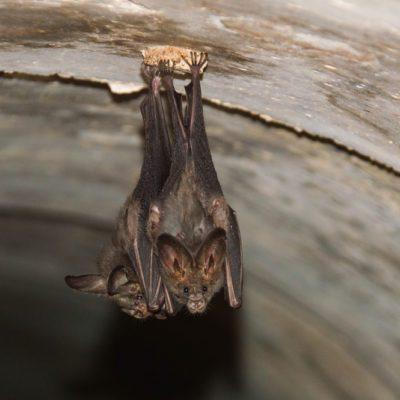 Bats lying down