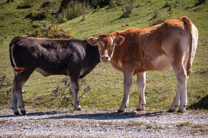 Two cows standing across from each other making it look like there is two cows with one conjoined head.