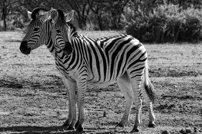 Two zebras standing next to each other such that it looks like one zebra with two heads