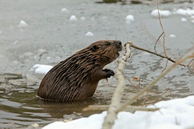closeup of an adult beaver swims in a frozen lake in the winter and gnawing tree