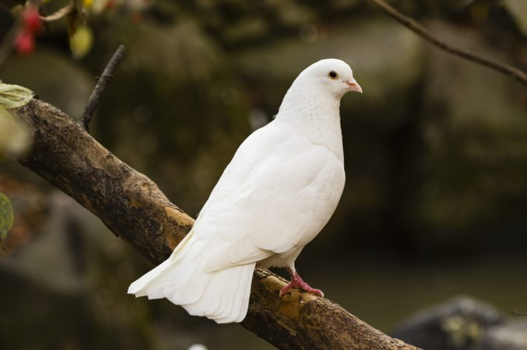 White Dove sitting on a tree branch