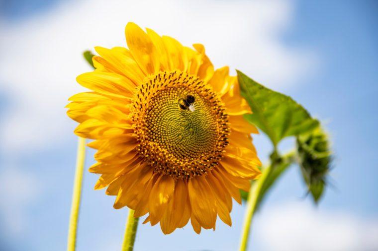 Sunflower close-up. Heart in a flower. Beautiful sunflower. Field with sunflowers. Sunflower seeds. Sunflower oil. Sunflower's pollination.