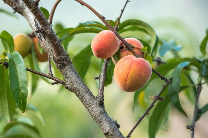 peach fruits growing on a peach tree branch