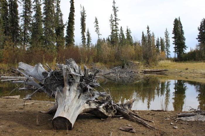 Tree stump on Tanana River