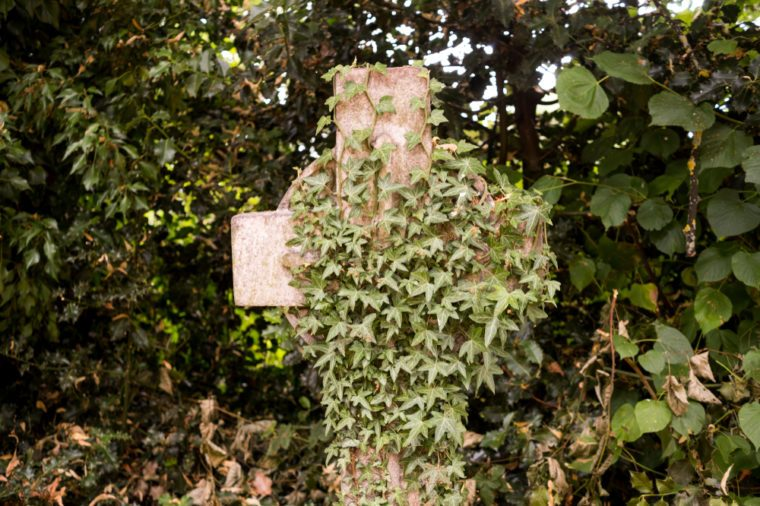 Stone grave cross overgrown with ivy