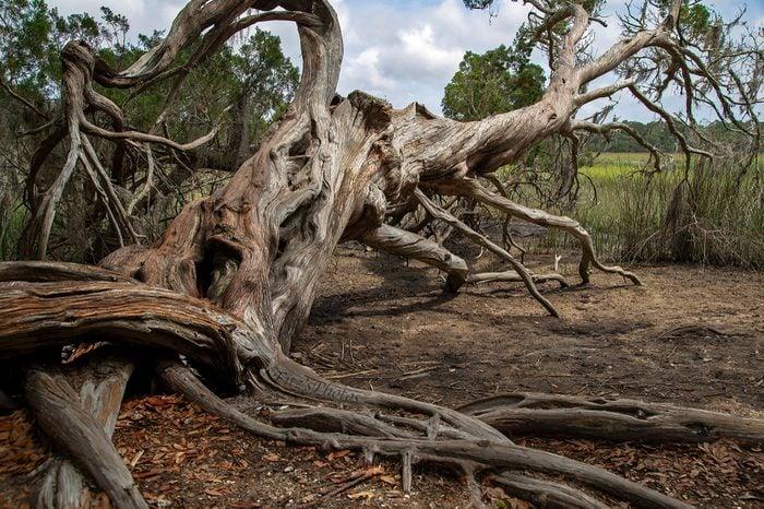 Dead Tree From Georgia Oak Grove
