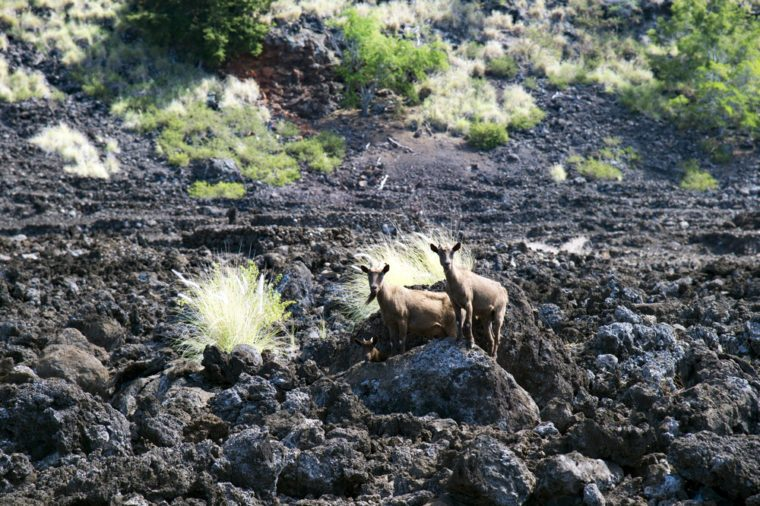 LEKELEKE Burial Grounds and wild goat, big island, Hawaii