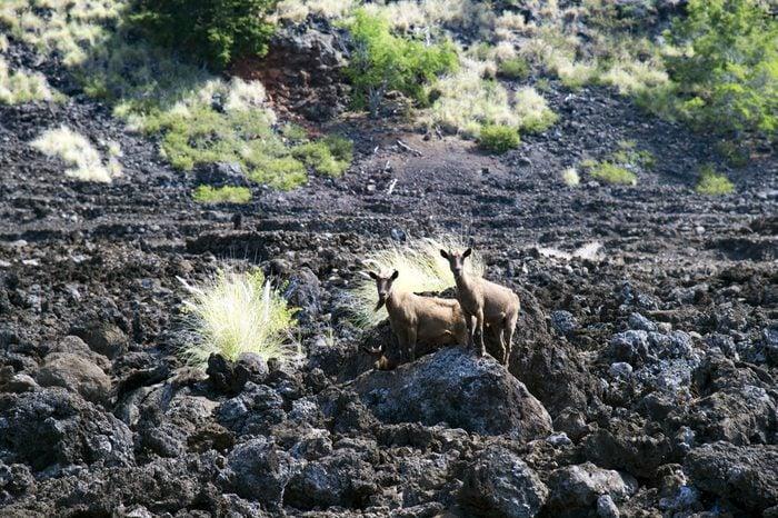 LEKELEKE Burial Grounds and wild goat, big island, Hawaii