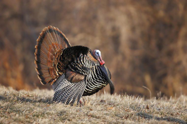 A male wild turkey in full strutting display.