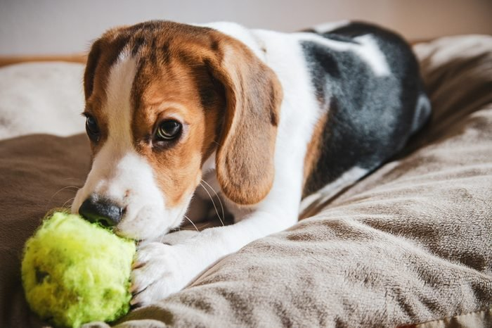Puppy dog ripping ball apart Beagle dog purebred