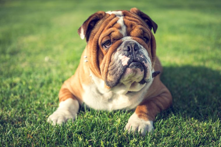 Cute English bulldog laying down on the grass,selective focus