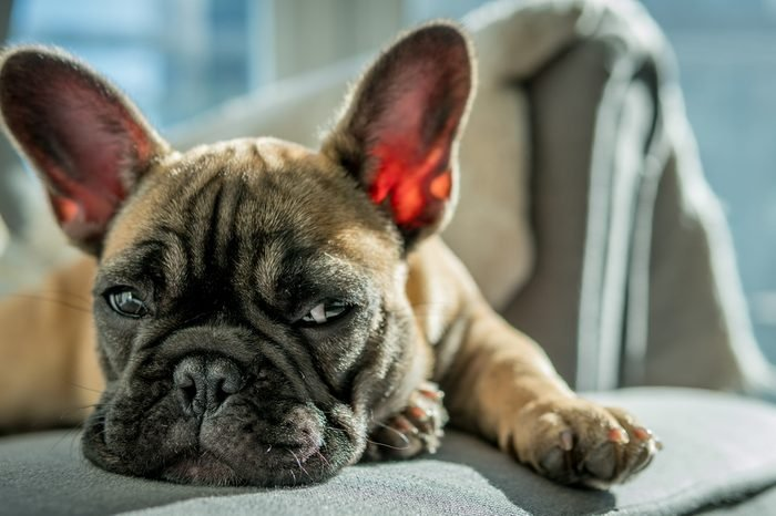 French Bulldog on chair 9