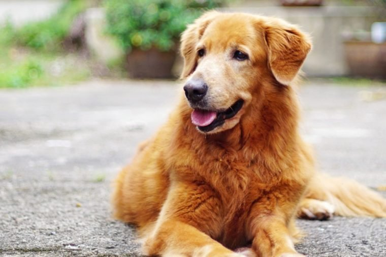 Golden Retriever Dog.