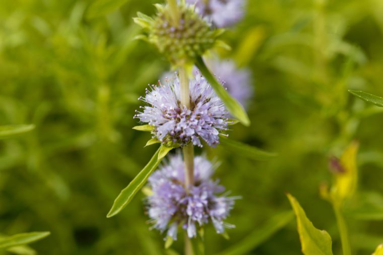 Flowers of a Harts pennyroyal, Mentha cervina.