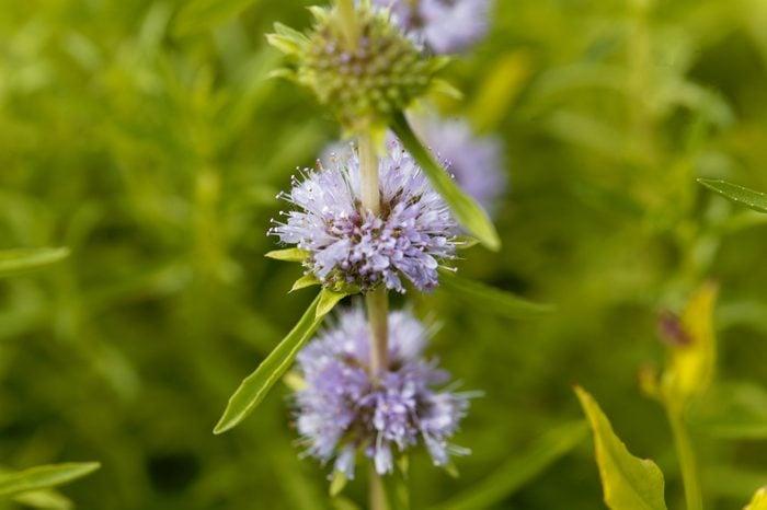 Flowers of a Harts pennyroyal, Mentha cervina.