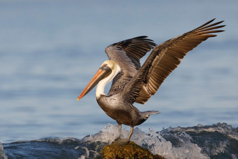 Brown Pelican (Pelecanus occidentalis) using its wings for balance as a wave crashes over its rock - Venice, Florida