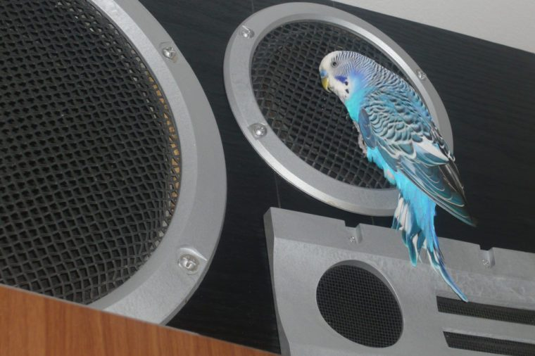 parrot listens to music