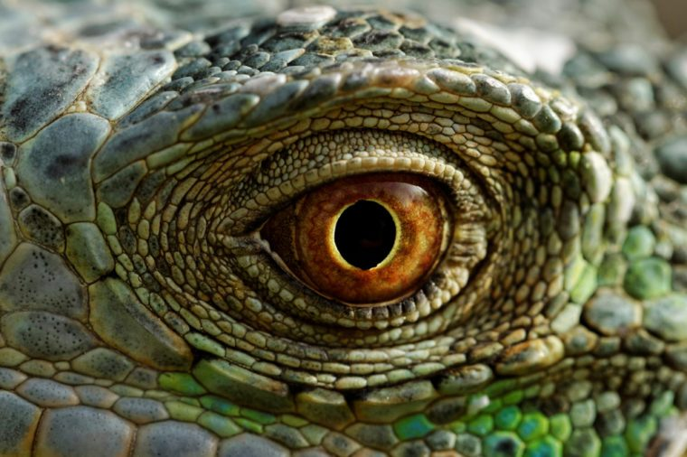 macro of a fantastic green iguana eye