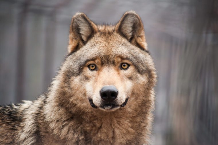 Watchful looking timber wolf close portrait in grey bare winter or autumn forest