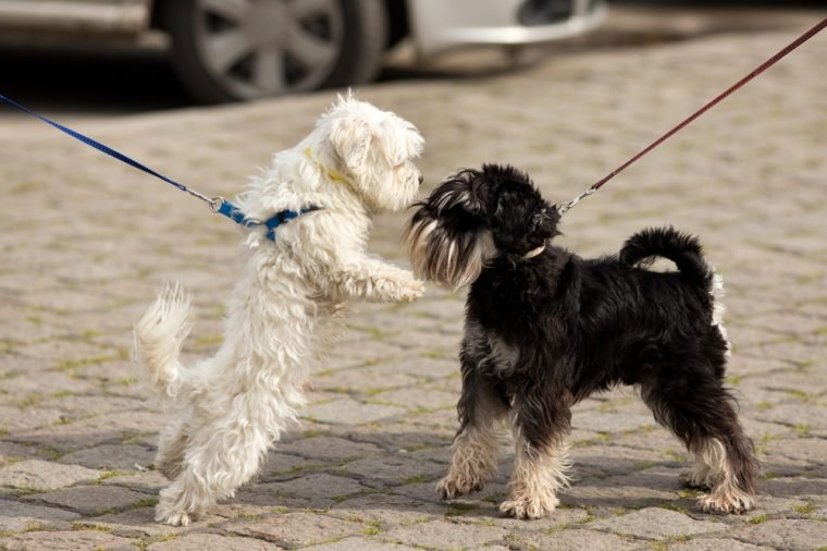 Two cute dogs on leashes meeting and sniffing on street