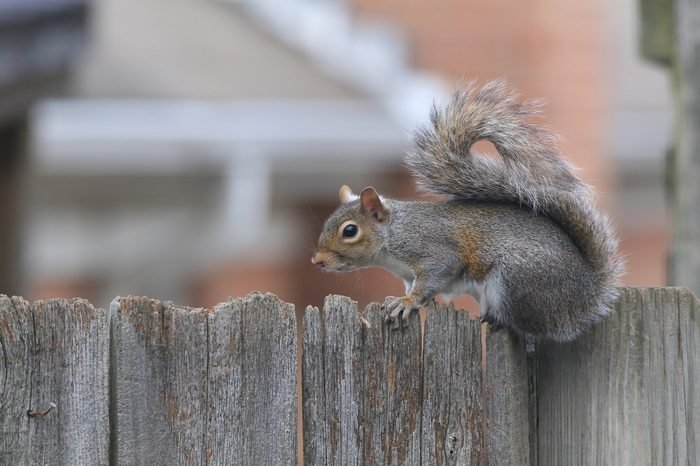 Gray Squirrel perched on rustic wooden fence with selective focus and soft focus neighborhood houses as background.