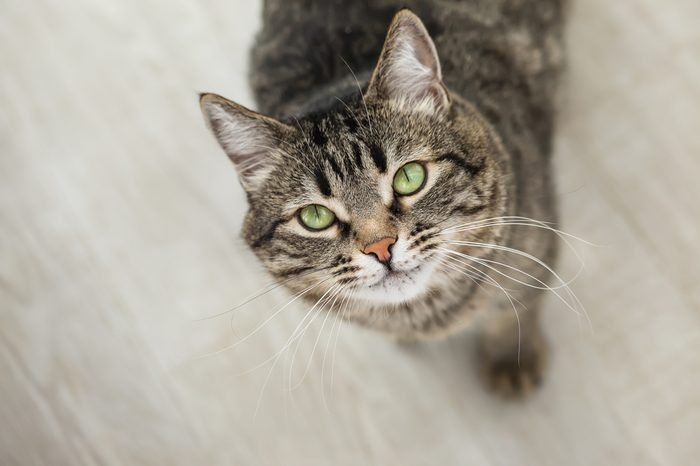 The striped cat with green eyes looks up at a camera