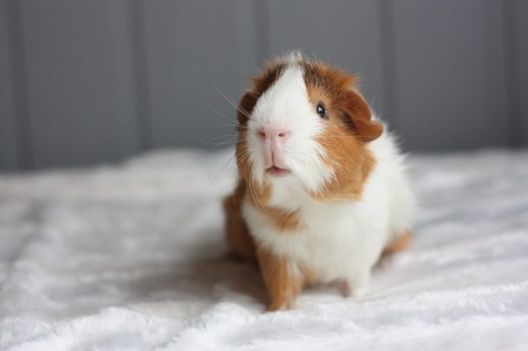 Curious guinea pig with rosettes