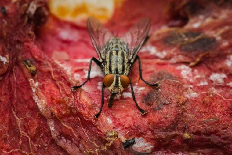 Flies eat meat