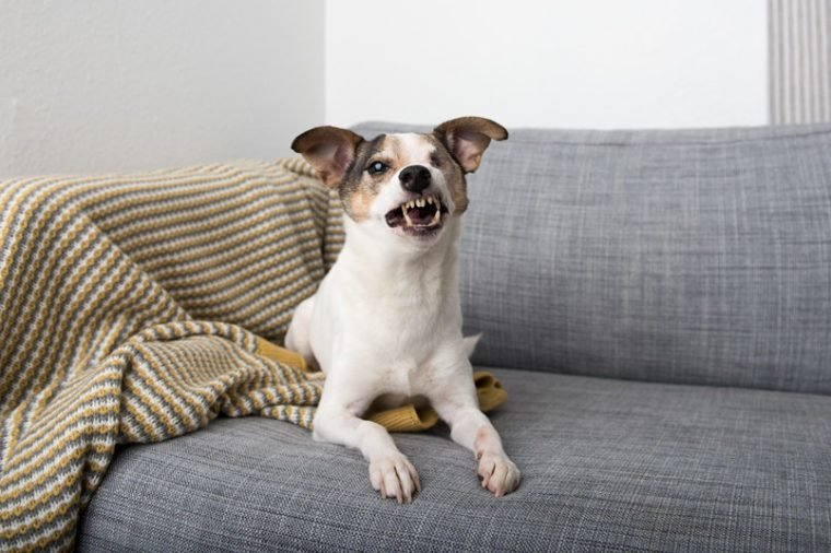 Small Jack Russell Mix Dog With One Eye Laying on Sofa