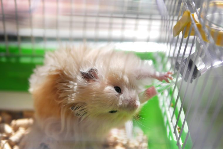 Hamster drinks water from a drinker. Hamster is in a cage.
