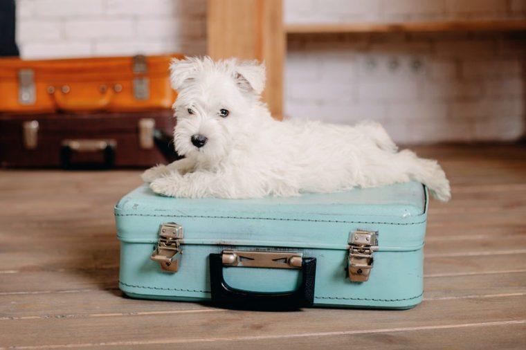 Puppy in a suitcase. Travel and vacation