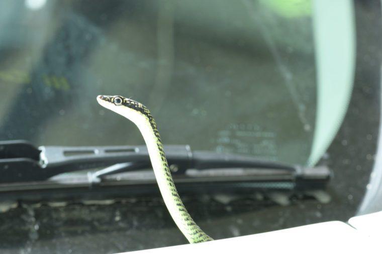 Golden tree snake is on the car. ( Chrysopelea ornata )