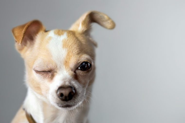 Winking Chihuahua Appears To Say Hello