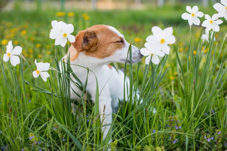 the dog is sniffing flowers, Jack Russell sniffs the daffodil in the spring against a green background, a dog with closed eyes sneezing and sniffing flowers, the dog does not have allergies to bloom