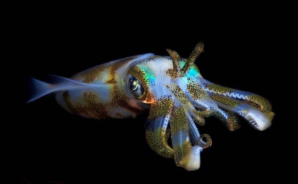 Bigfin reef squid - night dive in Bali.