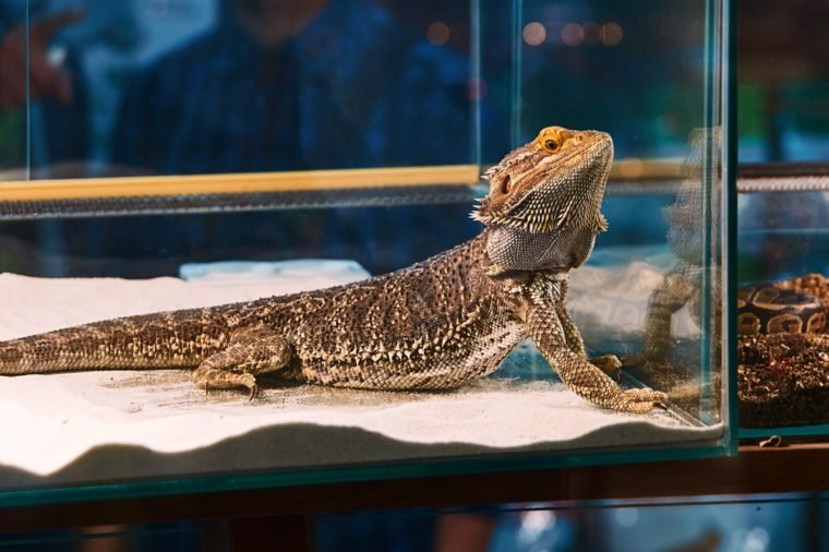 Iguana in the pet shop