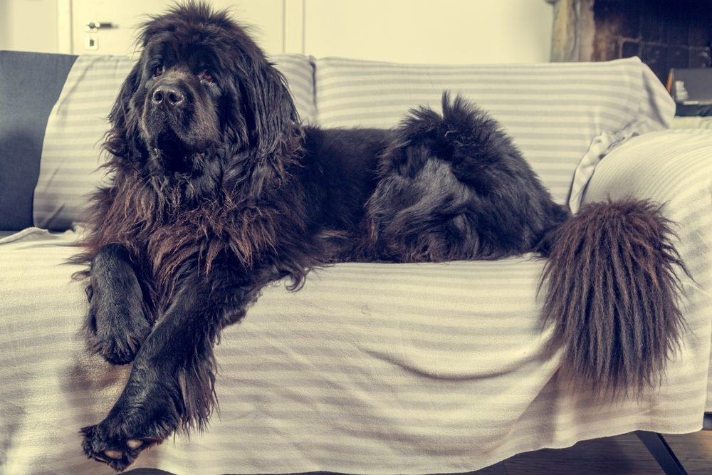 Big Newfoundland dog lies and rests at home on the sofa. Shallow depth of field