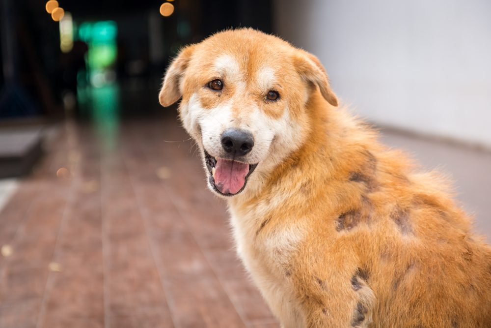 A Brown stray dog skin disease leprous.