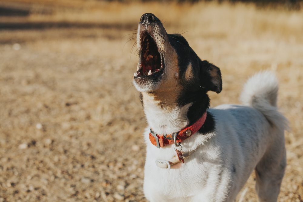 Wine cellar dog howling and barking wildly.