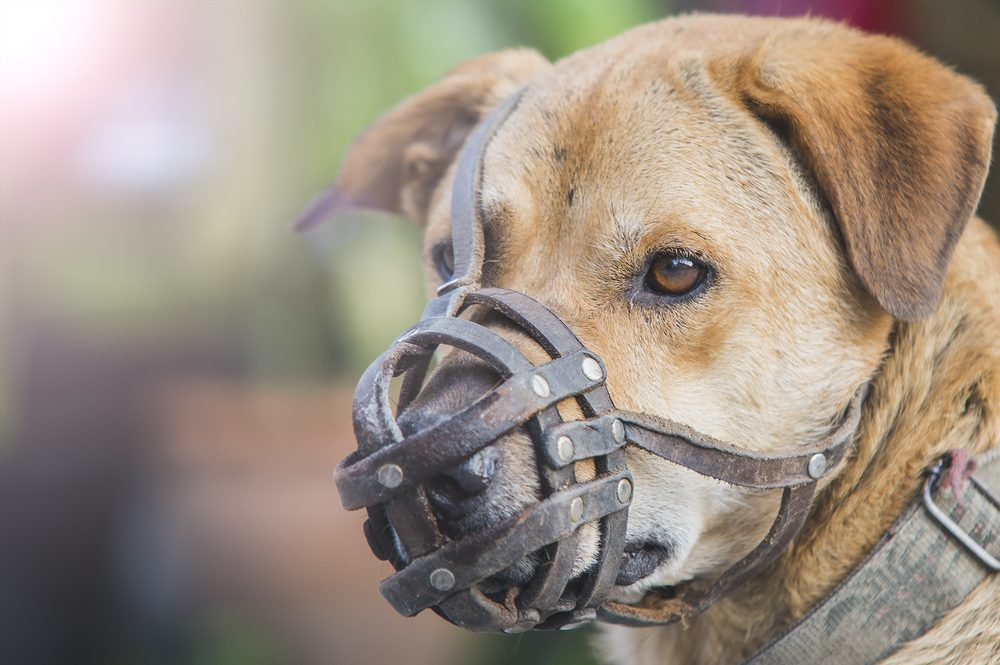 Dog wear muzzle. (Selective Focus at the dog eye)