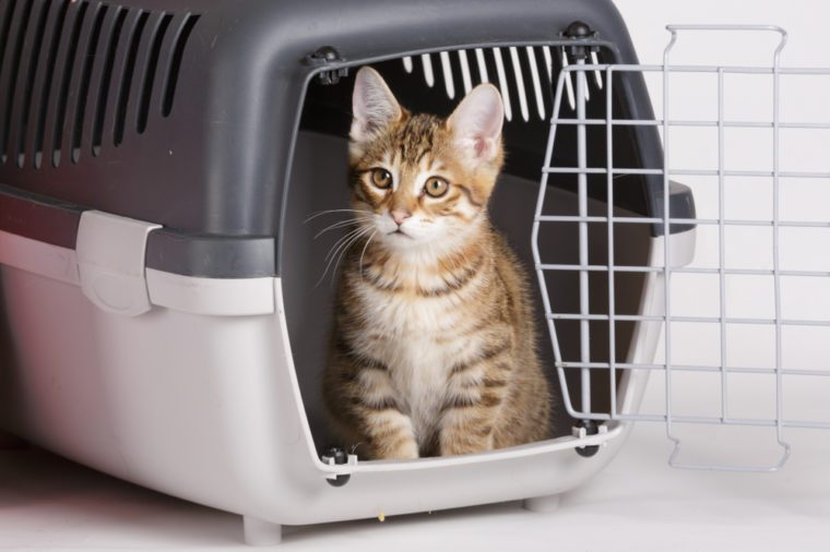 travel with cat - kuril bobtail kitten in a carry box on white isolated background
